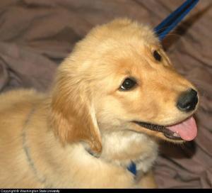 panting puppy