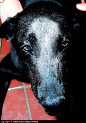 canine nose cancer