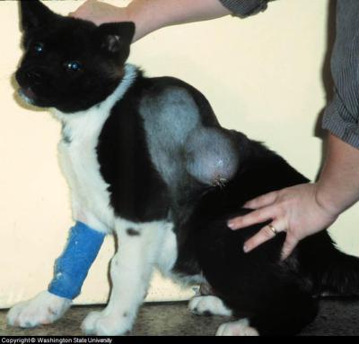 cancer canine skin