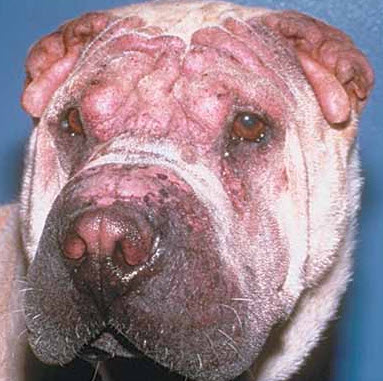 An Overview Of Canine Skin Rashes And Treatment Options