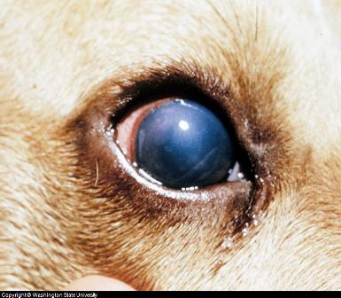 dog eye diseases photo. Canine Eye Disease Photos
