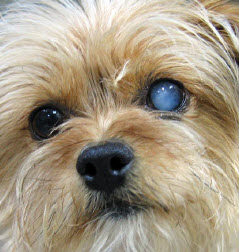 dog eye cataracts