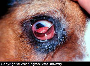 dog eye problems
