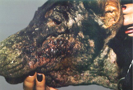 dog scabies pictures