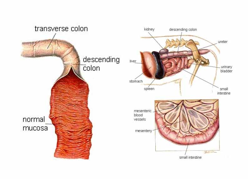 Diagram Of Of Stomach Intestines And Colon Gallery - How ...