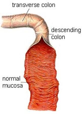 dog large intestine