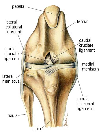 Dog knee anatomy