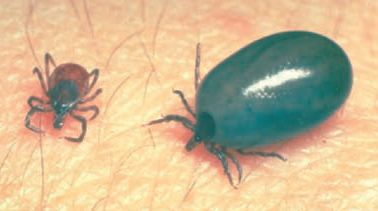 picture of tick after feeding