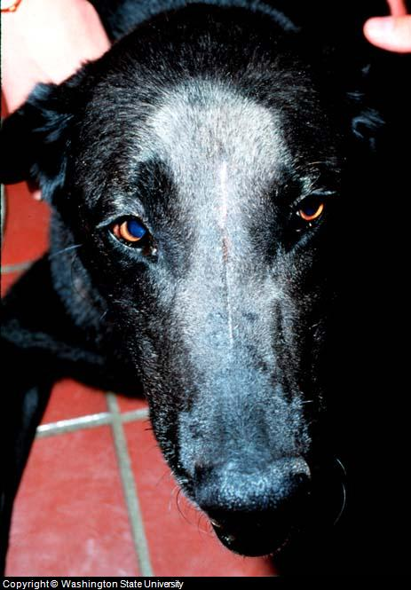canine nose cancer