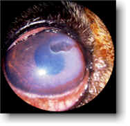 dog corneal ulcer picture