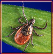 picture of black legged tick