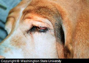 dog eye diseases photo