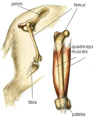 picture dog hip joint