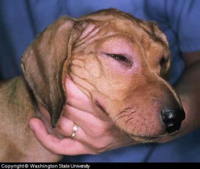 dog vaccination side effects