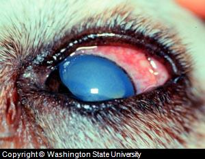 dog eye red