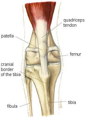dog knee injuries