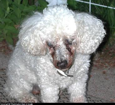 canine eye diseases photos