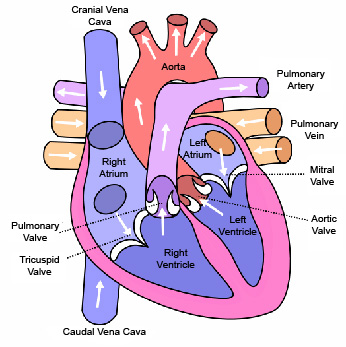 dog heart anatomy