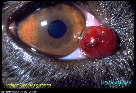 eye tumor dog