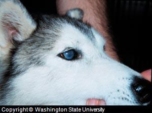 dog eye surgery