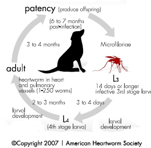 heartworm life cycle