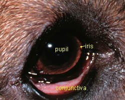 Lining Of A Dog S Eye
