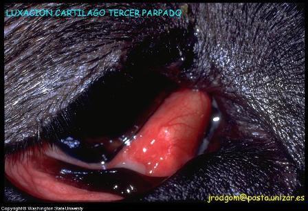 dog eye problem