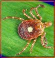 picture of tick