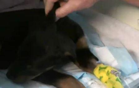 puppy parvo patient