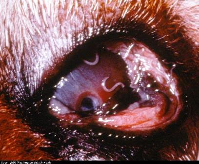 canine eye disease photos