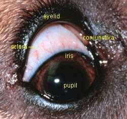 dog eye anatomy picture