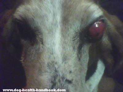 Dog Eye Tumor or Mass in Basset Hound