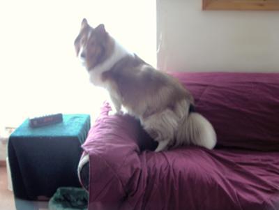 Dog with Fluid Buildup on Knee
