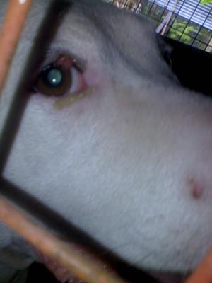 Picture Dog Eye Tumor