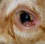 Red Dog Eyes with or without Discharge Can Indicate a Problem such as Conjunctivitis as shown Above.