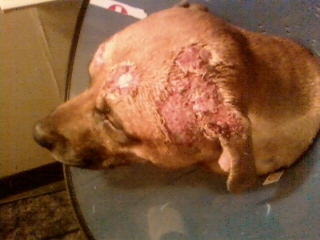 Recurring Missing Dog Fur Patches
