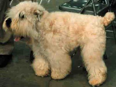 <b>Dog Skin Lesions Are Diagnosed on pets such as this Wheaton Terrier  with a Skin Scraping</b><br><small>Source: Washington State University</small>