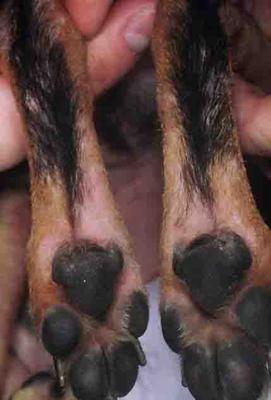 Symmetrical Skin Rash On Inner Hind Dog Legs