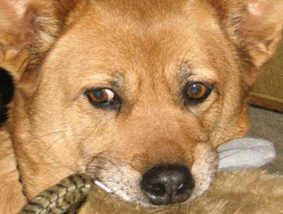 Signs of lenticular sclerosis in dog eyes