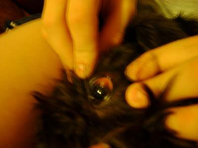Canine Eye Cyst, Tumor or Abscess