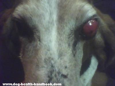 Dog Eye Tumor or Mass in Basset Hound