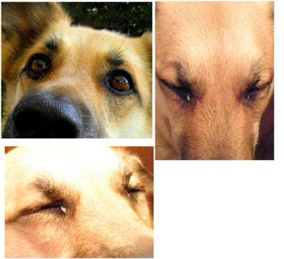 German Shepard Does Not Open Eyes Requires a trip to the Veterinary Emergency Roorm for a dog eye exam
