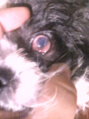 Picture Puppy Eye Disorder or Injury