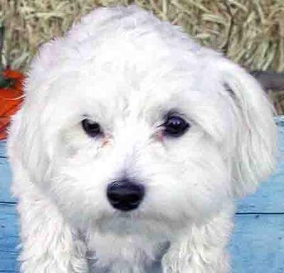 <b>If you Find a Black Skin Spot on a Maltese Dog, The Vet Will Do a Physical Exam and Tests to Check for Mites, Ringworm and Other Ailments</b><br><small>Source: Washington State University</small>