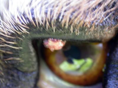 Picture Bump on Dog Eye